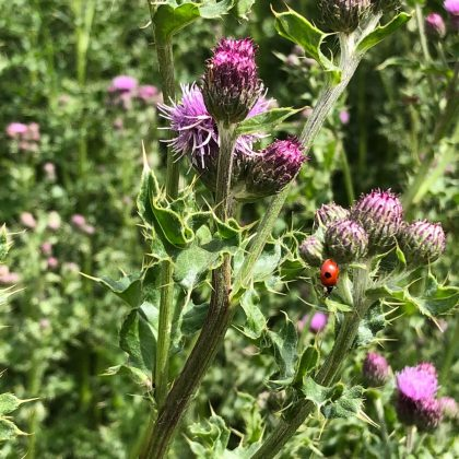 Thistles in bloom with a ladybird